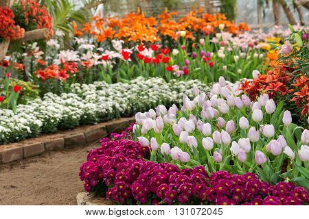 Colorful Tulips Flower Blooming In Floral Garden