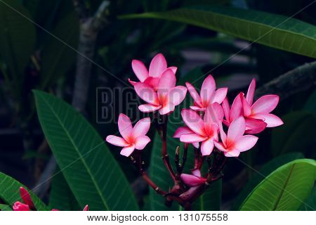 Pink Frangipani Tropical Flower, Plumeria Flower Fresh Blooming On Tree