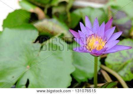 water lily lotus in nature, Lilies in pots