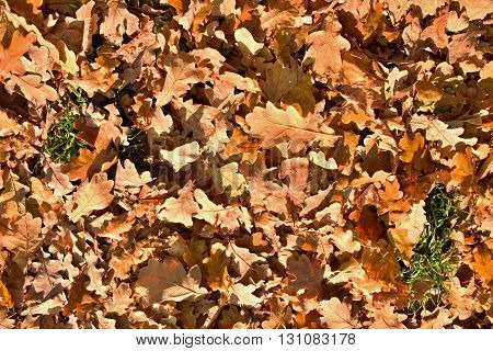 Big Acorns And Colorful Oak Leaves On The Ground In Autumn