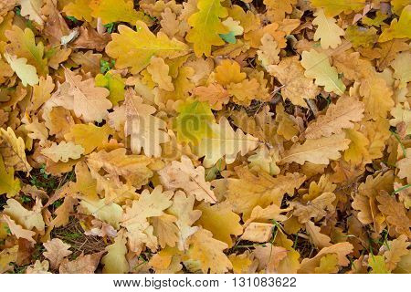 Oak Autumn Colorful  Leaves Fallen On The Ground