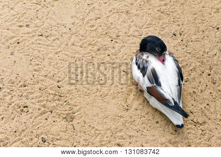 Shelduck (black and white duck goose) relax and sleeping on the sand (Latin: Tadorna tadorna; class birds; squad anseriformes; family duck)