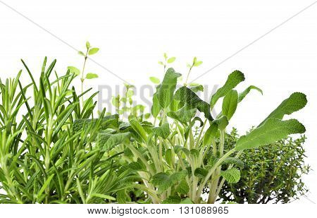 Fresh, green herbs, herbary or herb garden. Close-up of herbs, isolated on a white background with copy space. Fresh cooking ingredients. Herb cultivation. Rosemary, sage, thyme and oregano.