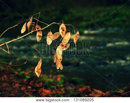 Perennial Honesty. Dry white seeds of flowers lunaria plant in forest