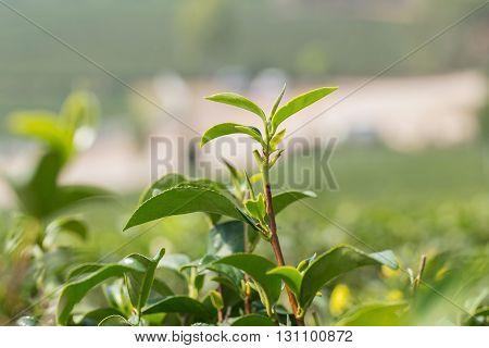 closeup fresh green tea leaves farm