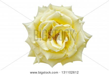 Close up of yellow rose (Rosaceae) over white background.