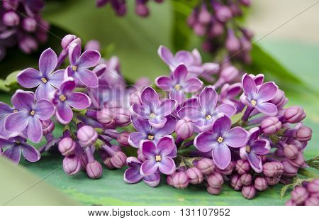 The beautiful fresh lilac violet flowers on a wooden background. Close up of lilac blossoms. Spring flower twig lilac.
