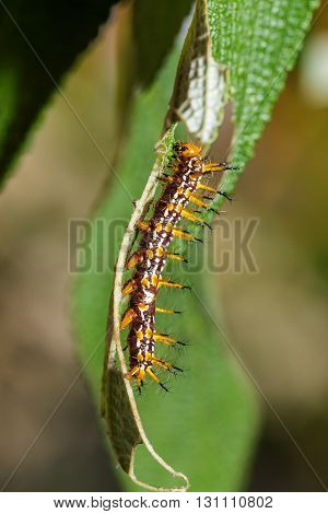 Caterpillar Of Yellow Coster Butterfly Resting On Leaf