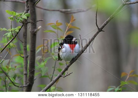 Rose-breasted Grosbeak male perched on branch in early morning
