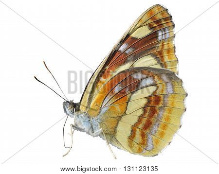 A close up of the butterfly (Neptis thisbe) profile. Isolated on white.