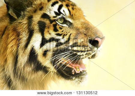 Beautiful angry face of Royal Bengal Tiger Panthera Tigris West Bengal India - tinted image . It is largest cat species and endangered only found in Sundarban mangrove forest of India and Bangladesh. poster