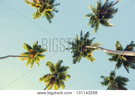 Coconut palms against the blue sky.  Low Angle View. Toned image