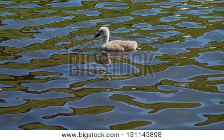 Single cygnet, baby swan, swimming in water