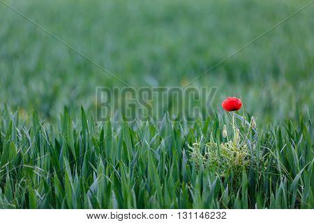 Red poppy in glyphosat treated wheat field.