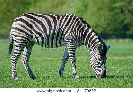 Chapmans zebra (Equus burchelli chapmani) eating grass in its habitat