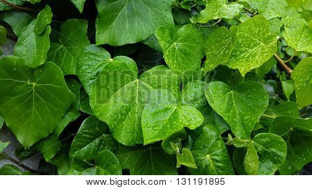Background image of hedera  (Hedera helix) with raindrops on the leaves
