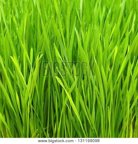 Freshly Grown Organic Wheatgrass Ready to Harvest