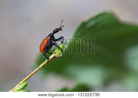 Beetle walnut weevils sit on birch leaf.