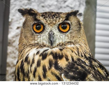 Eurasian eagle-owl in Trasmoz, Aragon Spain, falconry