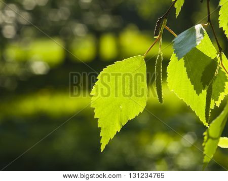 Leaves of Silver birch Betula pendula tree in morning sunlight selective focus shallow DOF