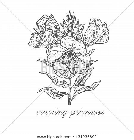 Evening primrose. Vector plant isolated on white background. The concept of graphic image of medical plants/herbs/flowers/fruits/roots. Designed to create package of health and beauty natural products