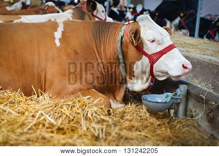 Cow in a stable on the agricultural exibition