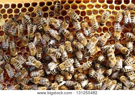 many bees on a honey beeswax are working