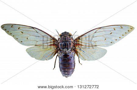 molt, nature, Cicada isolated on white background