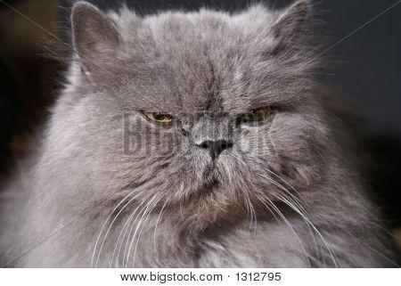 Big Fat Persian Cat