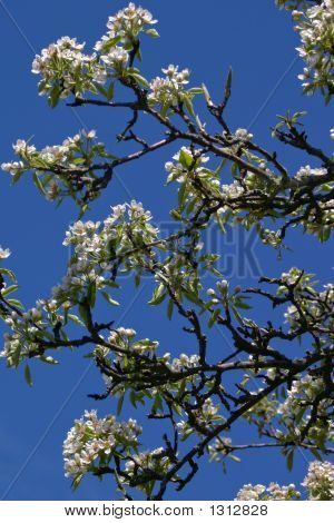 White Blooms On Tree