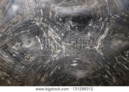 Close-up of the shell of a Galapagos giant tortoise