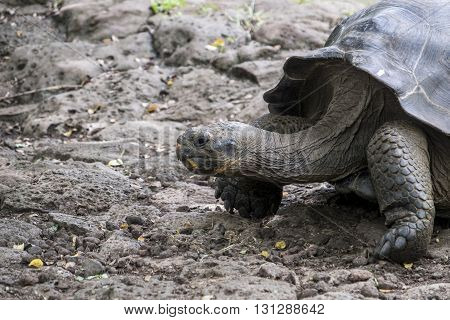 Large Galapagos Giant Tortoise going for a stroll