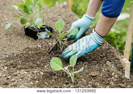 Gardener planting plowing the broccoli seedlings in freshly ploughed garden beds. Organic gardening healthy food nutrition and diet self-supply and housework concept.