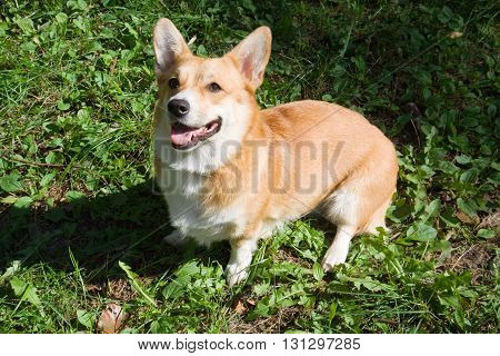 A Welsh Corgi Pembroke dog in a summery day in a meadow