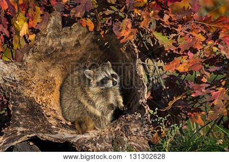 Raccoon (Procyon lotor) Sits in Log - captive animal