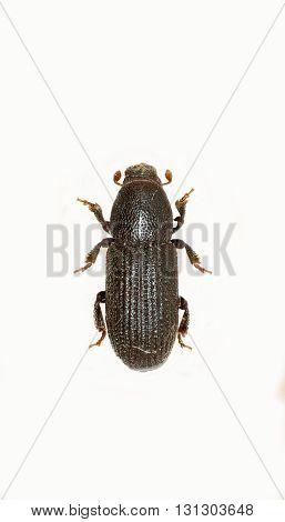 Bark Beetle on white Background  -  Hylastes cunicularius (Erichson, 1836)