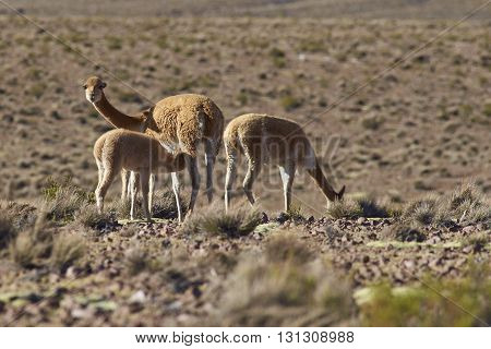 Female vicuna (Vicugna vicugna) suckling its offspring on the altiplano in Lauca National Park, northern Chile.