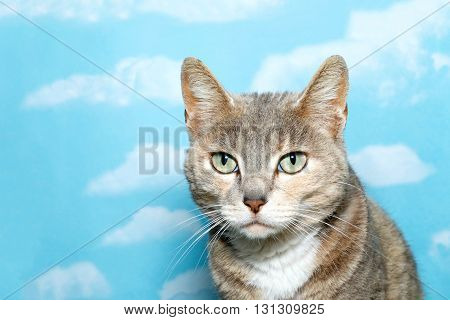 Portrait Of Diluted Tortie Tabby Cat On Blue Background With White Clouds. Copy Space