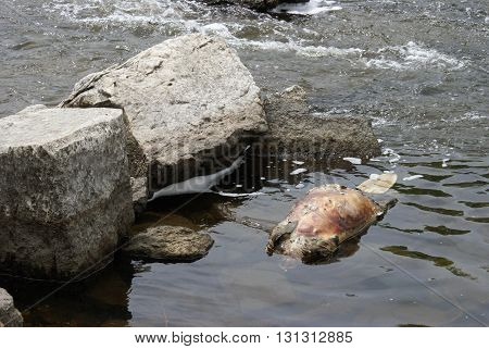 The body of a dead beaver floats on top of the water.