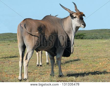 Eland, Koeberg Nature Reserve, Cape Town South Africa 05
