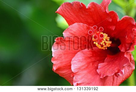 Close-up of a red hibiscus bloom showing the yellow pollen in the spring.