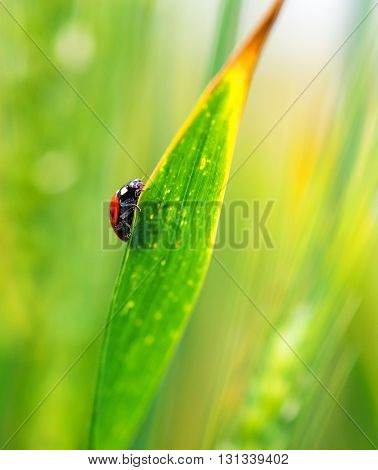 close up of a ladybug on green grass