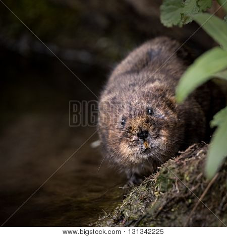 Close up of wild water vole walking along bank