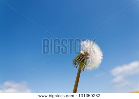 White dandelion closeup against the blue sky with copy-space
