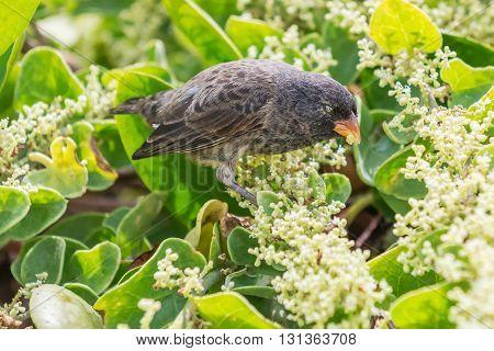 Ground Finch Bird On Santa Cruz Island In Galapagos.
