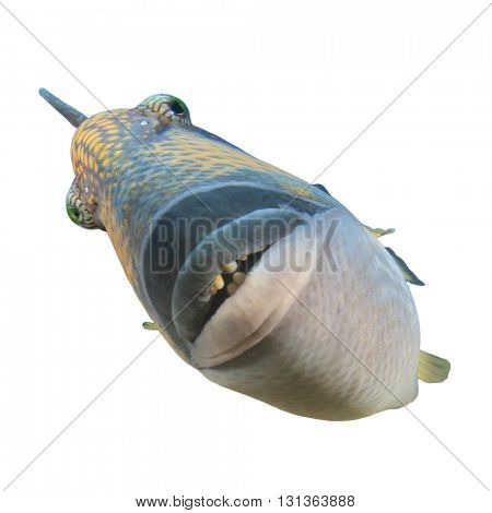 Titan Triggerfish fish face isolated on white background poster