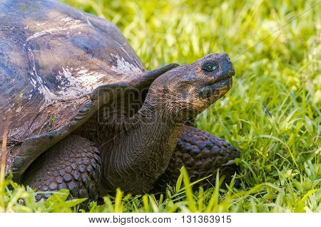 Giant turtle in the highlands of Santa Cruz island. Galapagos turtle is the largest living species of tortoise reaching weights of over 400 kilograms lengths of 1.8 meters and live up to 150 years.
