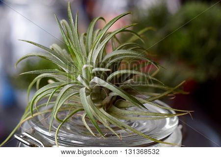 Air Plant Tillandsia on a glass jar
