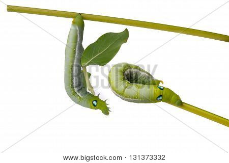 Close up green caterpillar on white background