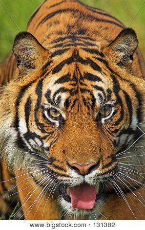 Tiger Portrait 002